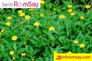 Cây Sài Đất - Một trong những thảo dược lành tính và trị bệnh ngoài da rất tốt cho trẻ