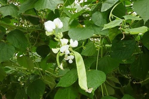 Lá cây đậu ván trị rôm sảy (hình minh họa)
